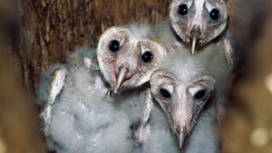 Photo of Barn Owl Babies Can Be Helpful Hatch Mates