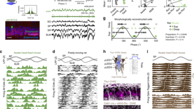Photo of Multimodal determinants of phase-locked dynamics across deep-superficial hippocampal sublayers during theta oscillations