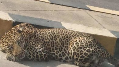 Photo of Leopard, civet keep Hyderabad on its toes