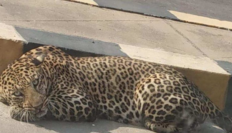 Leopard, civet keep Hyderabad on its toes
