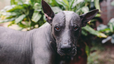 Photo of Xoloitzcuintli: The Mexican Hairless Dog, Ancient Guide to the Underworld