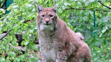Photo of Rufus, Germany's favorite fat lynx, put down