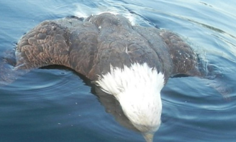 That Time A Loon Fatally Stabbed An Eagle In The Heart