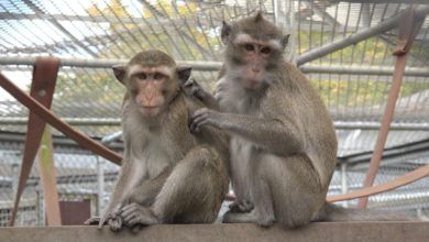 Photo of Research Suggests Teamwork Reduces Stress In Monkeys