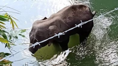 Photo of Watch | Pregnant elephant dies after eating cracker-filled fruit