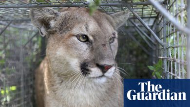 Photo of Officials safely relocate mountain lion that wandered San Francisco for days