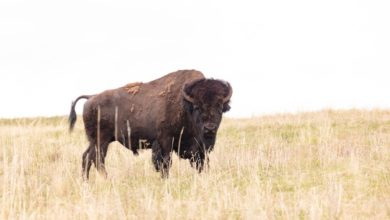 Photo of Woman gored after approaching bison in Yellowstone National Park