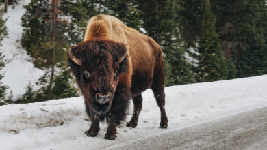 Photo of 72-Year-Old Woman Gored by Bison in Yellowstone While Taking Pictures