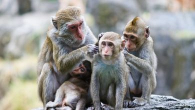 Photo of What primates can teach us about managing arguments during lockdown