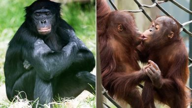Photo of Magnificent animals at famous Twycross Zoo face CULLING