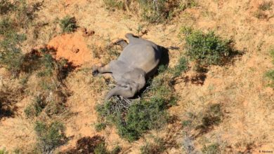 Photo of Elephant deaths in Botswana not just a loss for conservation