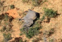 Photo of What the sudden elephant deaths in Botswana could mean to the species