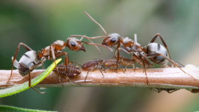 Photo of What Can We Learn From Ants About Epidemics?
