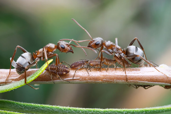 What Can We Learn From Ants About Epidemics?