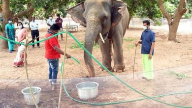Photo of After treatment, elephant to return to temple
