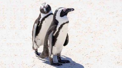 Photo of Penguin's Role in His Mate's Miraculous Recovery