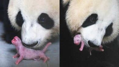 Photo of South Korea Celebrates First-Ever Giant Panda Birth. And Yes, It's Adorable.