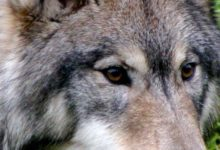 Photo of Of Wolves, George Floyd, and the Limits of Human Empathy