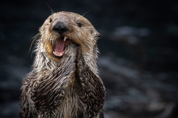 Sea Otter Teeth Are Gross but Really Useful for Scientists
