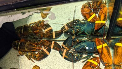 Photo of Rare Blue Lobster Fished Out Of An Ohio Red Lobster