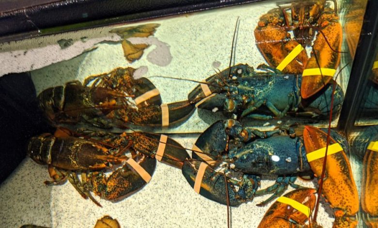 Incredibly rare blue lobster saved from certain death by Red Lobster employees