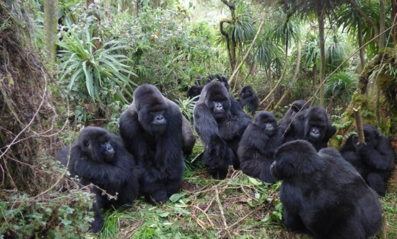 Gorilla relationships limited in large groups