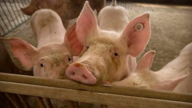 Photo of In African swine fever outbreak in N-E, a 'piggy' jackpot for Punjab