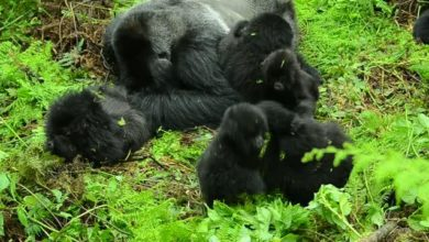 Photo of Gorilla relationships limited in large groups