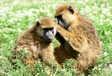 Photo of Strong bonds later can't erase early trauma for baboons