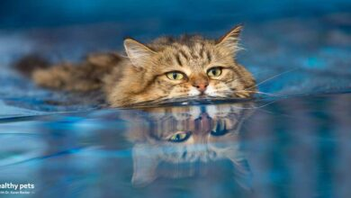 Photo of 6 Cat Breeds That May Actually Like Water