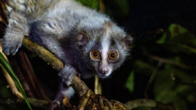 Photo of Slow lorises rescued from illegal pet trade released into wild