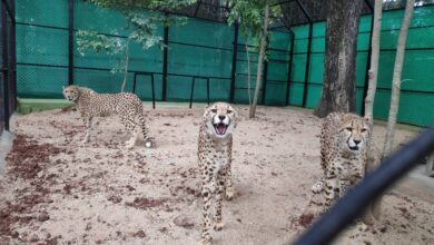 Photo of Mysuru zoo gets 3 African hunting cheetahs from South Africa