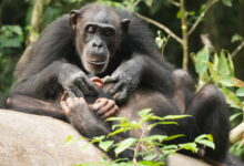 Photo of Like humans, chimpanzees can suffer for life if orphaned before adulthood