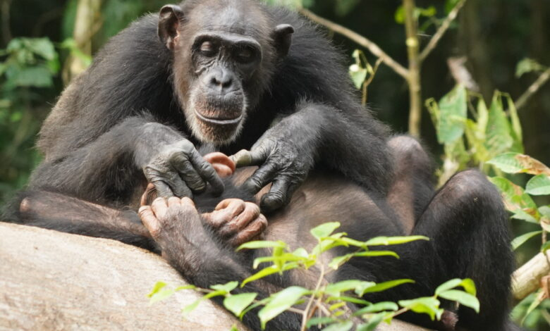 Like humans, chimpanzees can suffer for life if orphaned before adulthood