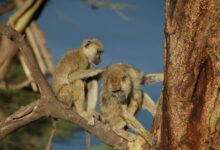 Photo of Male baboons with female friends live longer