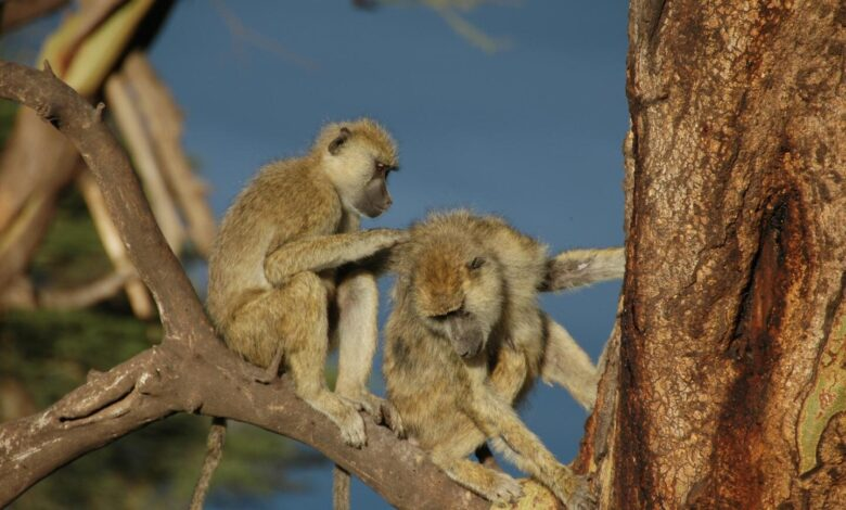Male baboons with female friends live longer
