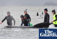 Photo of Australia whales: rescuers in Tasmania free 25 stranded pilot whales, but 90 already dead