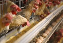 Photo of Farms have bred chickens so large that they're in constant pain