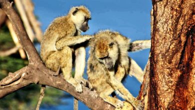 Photo of Male baboons with female pals live longer