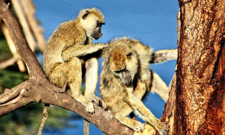 Male baboons with female pals live longer