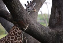 Photo of An Animal is Given a Tough Task in 'Kenya the Gutsy Giraffe'