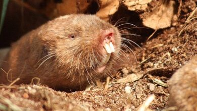 Photo of Virtually Blind Mole-Rats Use Their Eyes to 'See' Magnetic Fields, Experiment Shows